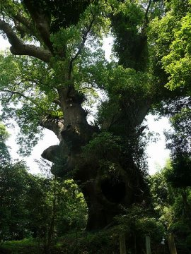 Camphor_tree5_of_Tsukazaki_Kagoshima_by_Sanjo