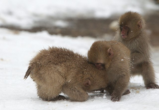 3_little_monkeys_Masashi_Mochida_Flickr_7b