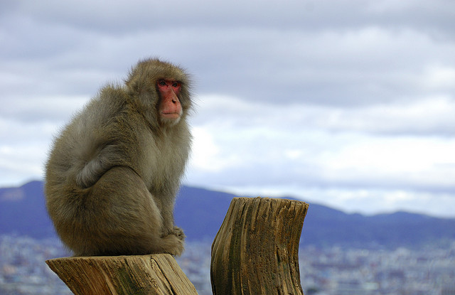 Macaque_Fisher_Flickr_Arashiyama_7