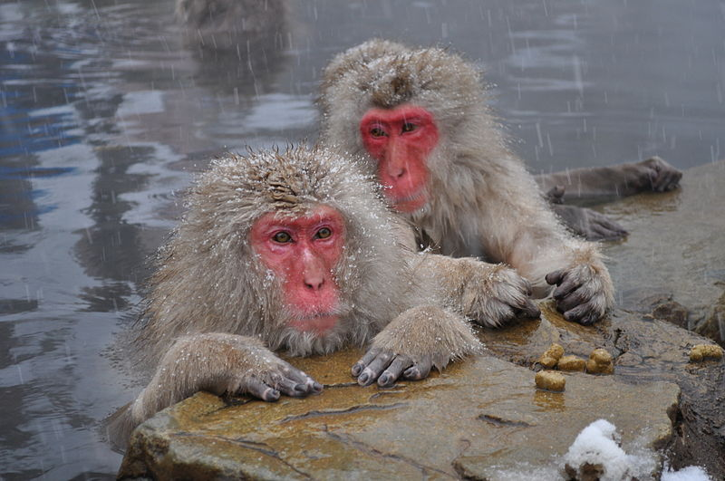 Snow_Monkeys,_Nagano,_Japan_yblieb_Flickr_7