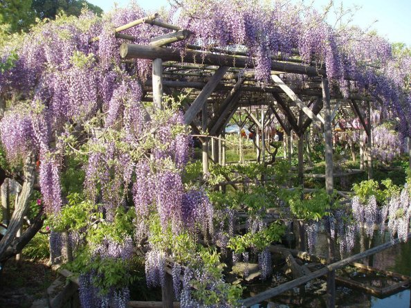 Kameido_shrine_wisteria_festival4_Okayu_commons_7b